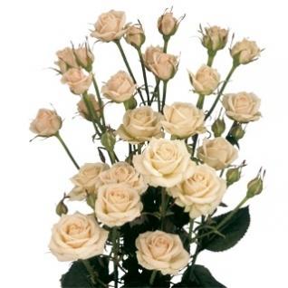 Роза кустовая. 60 см.-5785054