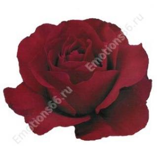 Роза сорта Sexy Red 50 см-873441