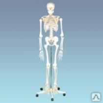 Скелет человека (манекен 170 см.)