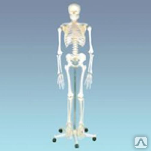 Скелет человека (манекен 170 см.)-95322