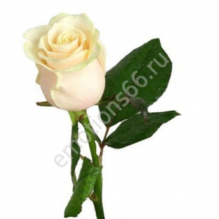Роза Вендела 70 см-873475