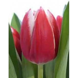 Тюльпан.-5785056