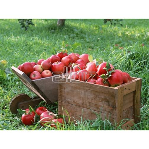 Яблоки-678474